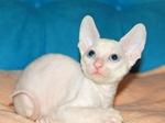 Белый котенок Корниш-рекс