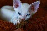 Котенок белого Девон-рекс