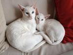 Белые коты породы Ориентал короткошерстный