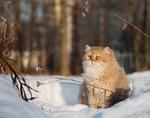 Зимнее фото кота Хайлендер