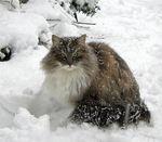 Зимнее фото Норвежской лесной кошки