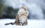 Зимнее фото Сибирской кошки